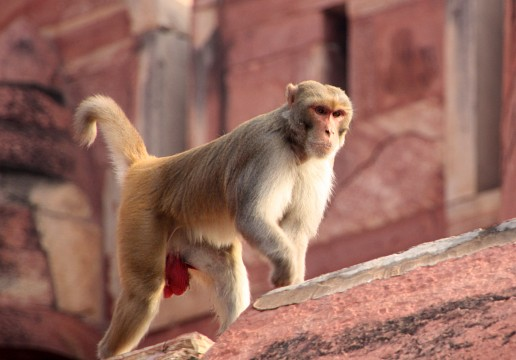 climbing monkey - Agra Fort