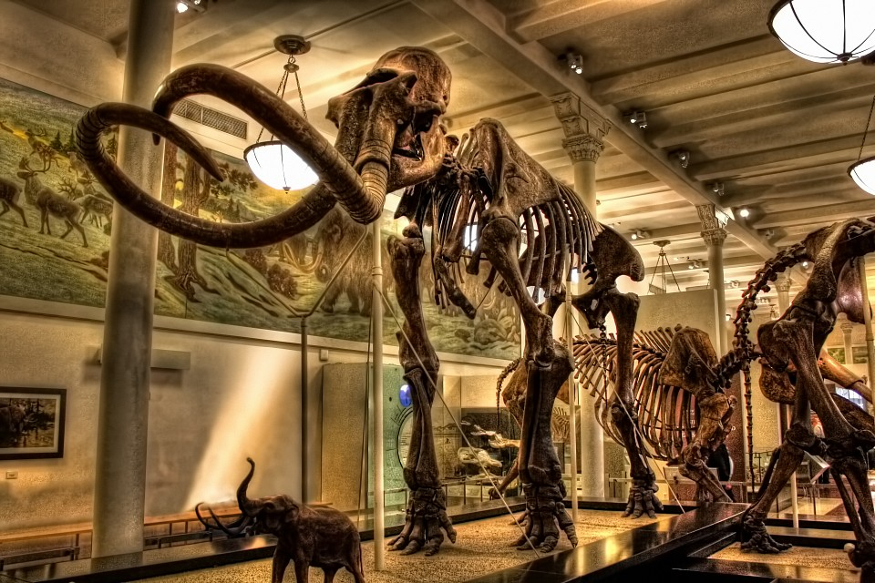 New York City USA - American Museum of Natural History - Milstein Hall of Advanced Mammals - Mammuthus columbi - American Museum of Natural History