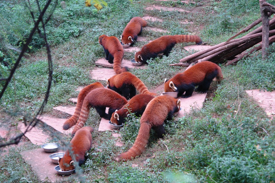 Red Pandas -