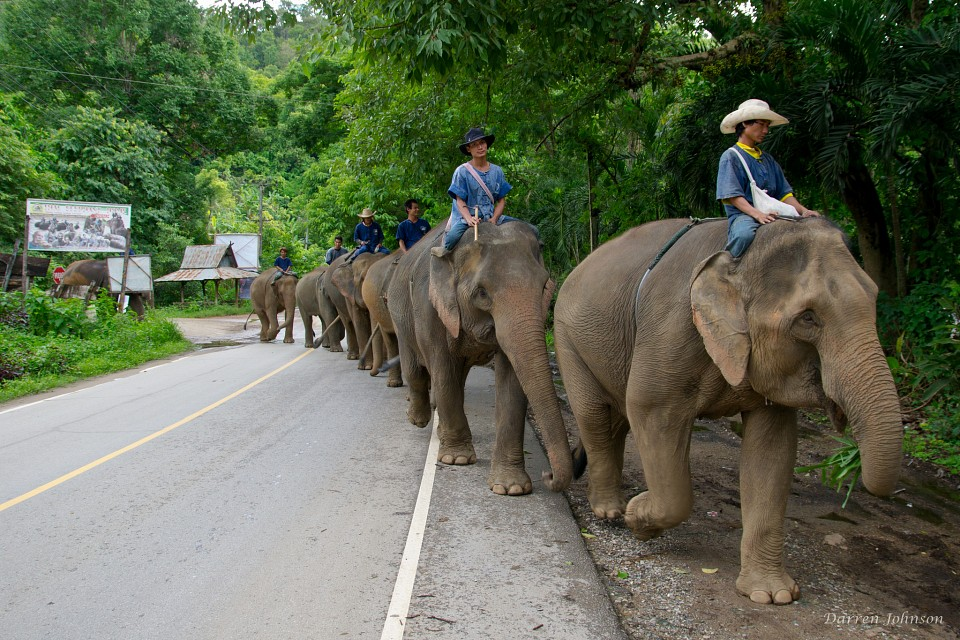 Elephant Crossing - Chiang Mai