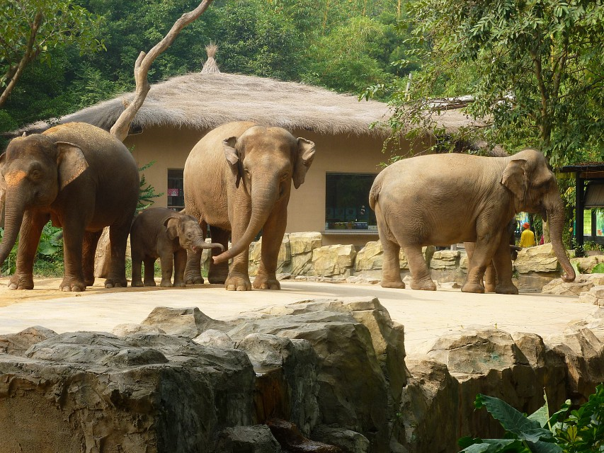Baby elephant & friends Xiangjiang chimelong safari park Guangzhou - Chimelong Xiangjiang Safari Park