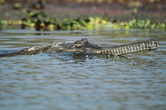 Gharial - Chitwan National