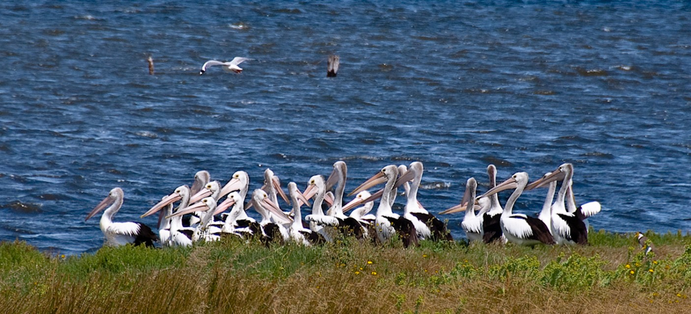 Pelicans at the Coorong, South Australia - Coorong National Park