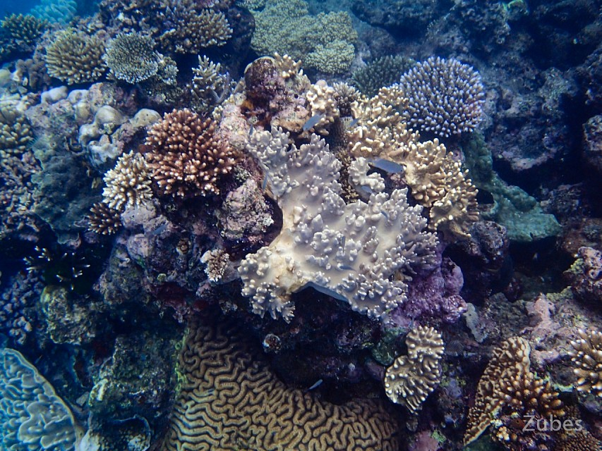 Corals in