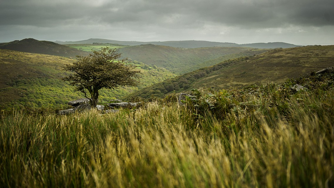 Lone Tree - Dartmoor National Park