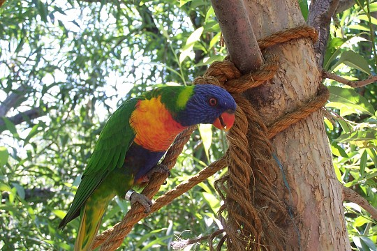 Lorikeet - Denver Zoo