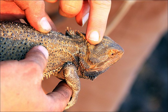 Bearded DragonCaught at Park -