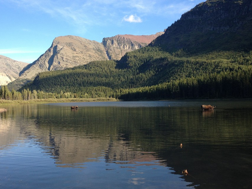 Two Moose in Fishercap Lake - Fishercap Lake