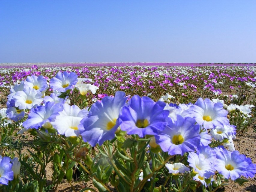 Flowering desert. Desert in Chile, South America