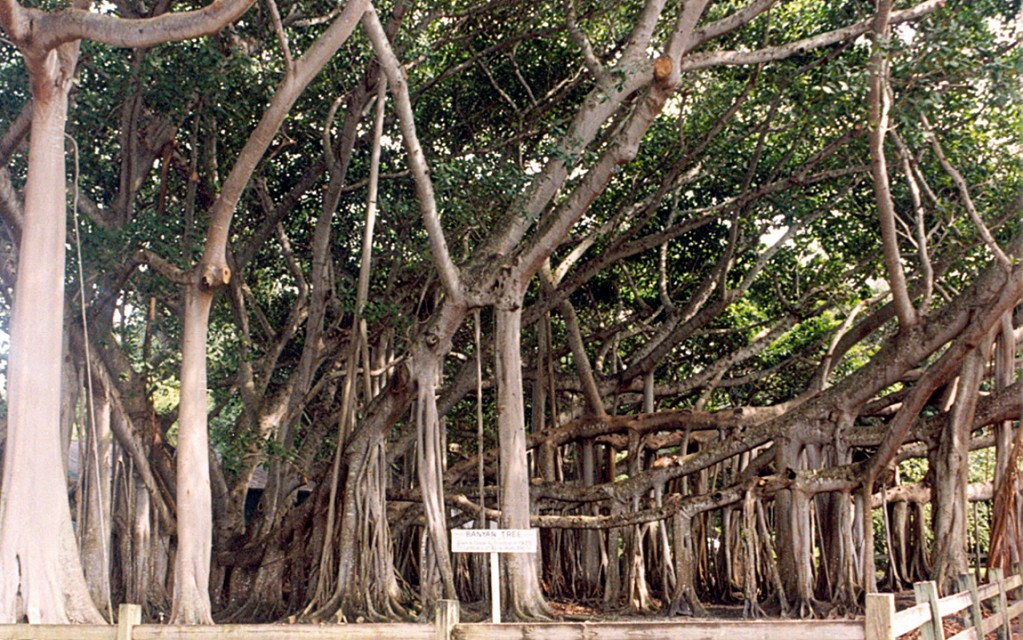 Fort Myers - Banyan Tree at Edison Musuem - Fort Myers