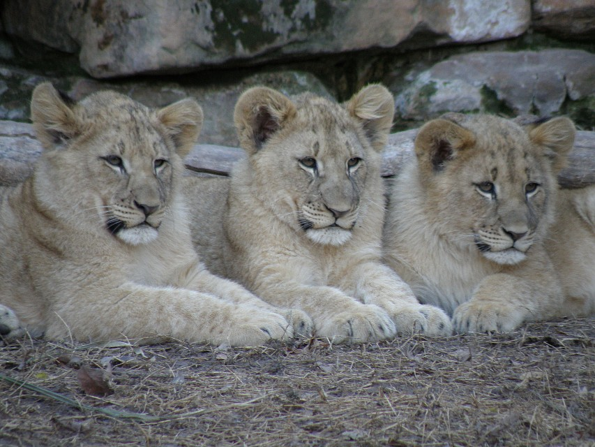 Cubs at Fort Worth Zoo - Fort Worth Zoo