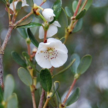 Eucryphia