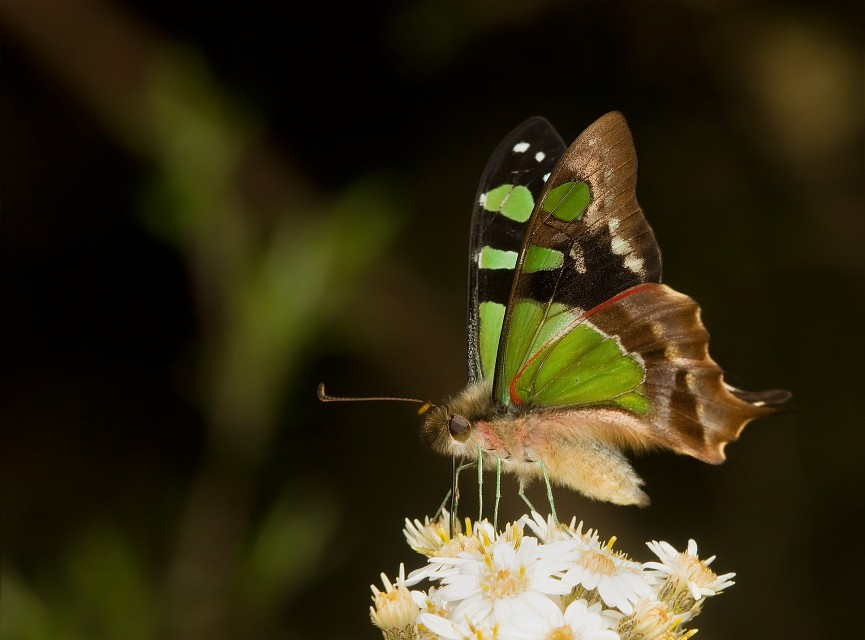 Macleay's Swallowtail - Franklin-Gordon Wild Rivers National Park