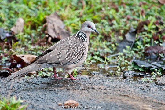 Spotted Dove -