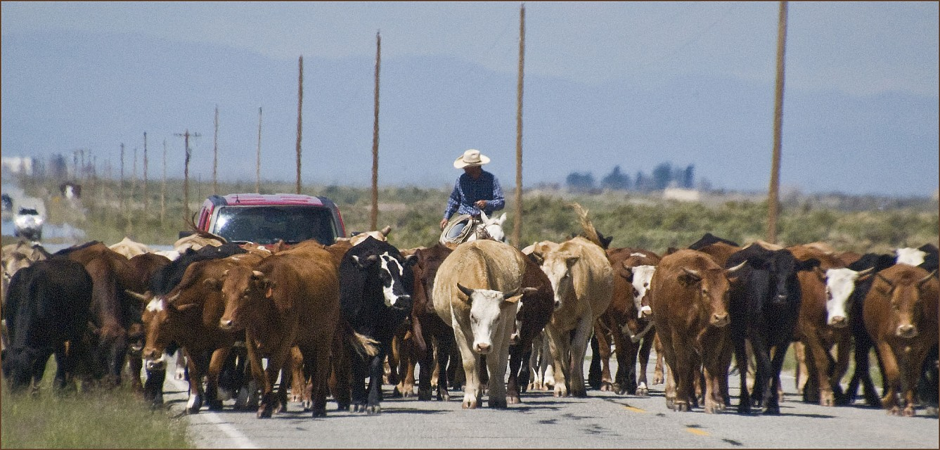 'There Are Cattle Blocking Your Morning Commute Today' -- Near Great Sand Dunes National Park (CO) August 2013 - Great Sand Dunes National Park and Preserve