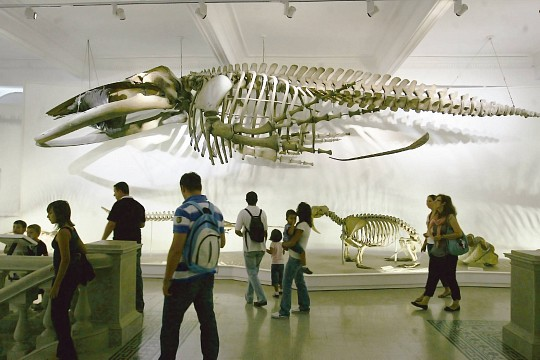 The Long-winged Whale - Grigore Antipa National Museum of Natural History