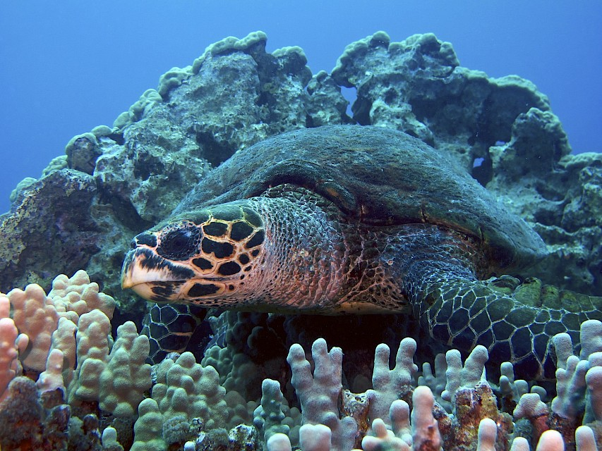 Hawksbill Turtle, Kona Coast, Big Island, Hawaii. - Hawaii