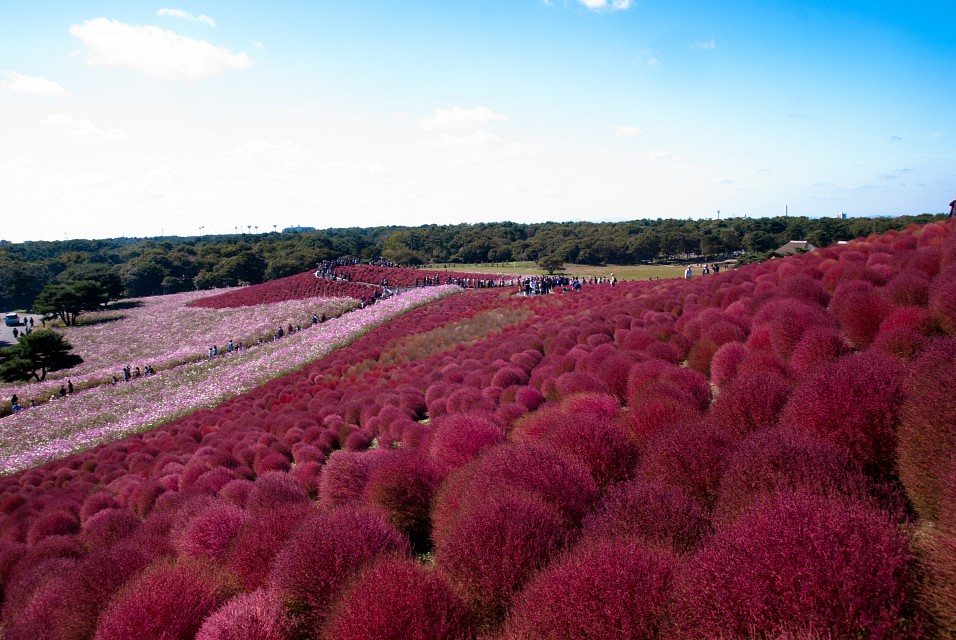 Kochia - Hitachi Seaside Park, Japan - Hitachi Seaside Park