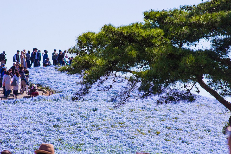 ひたち海浜公園4 Hitachi Seaside Park 4 - Hitachi Seaside Park