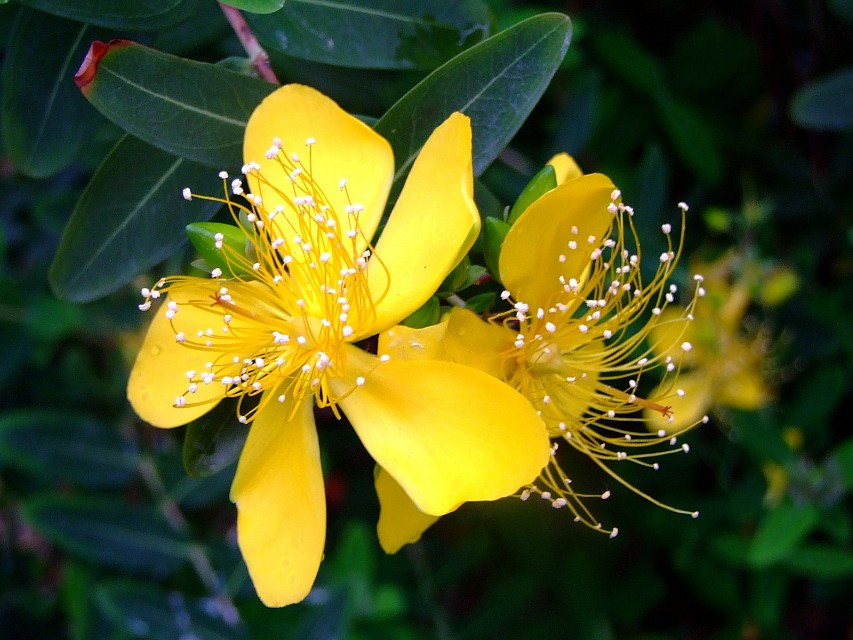 CLUSIACEAE 山竹子科  - Chinese St. Johnswort (Hypericum monogynum L.) 金絲桃 - Hong Kong Zoological and Botanical Gardens