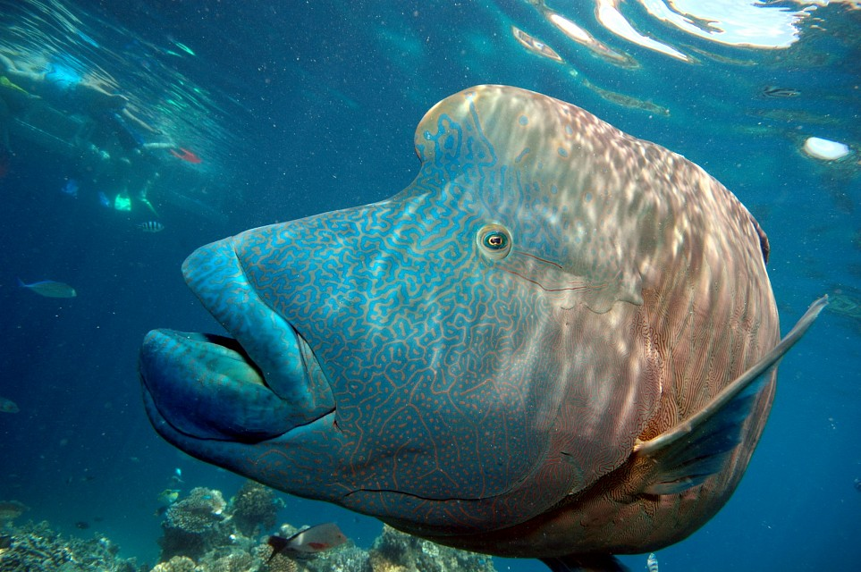 Humphead Wrasse - Great Barrier