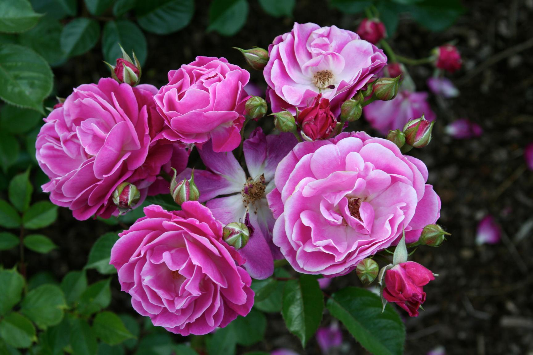 Roses In Garden: International Rose Test Garden