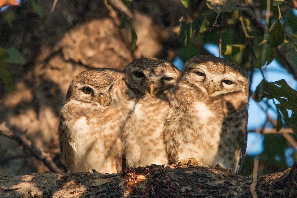 Spotted Owlets - Keoladeo National Park