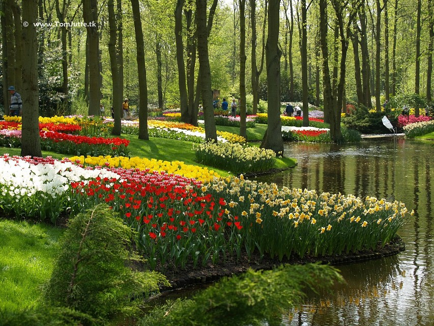 Dutch Tulips - Keukenhof