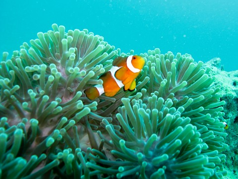 Clown Fish - Koh