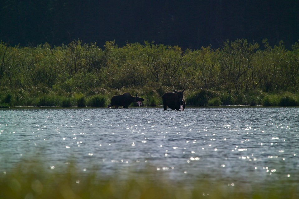Moose at Kootenai Lakes - Kootenai Lakes