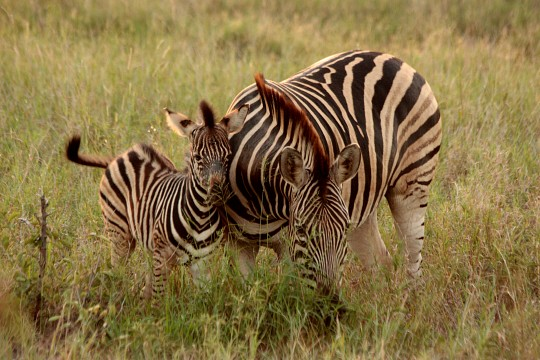 Zebras - Kruger National Park