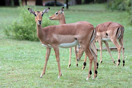 Impalas grazing