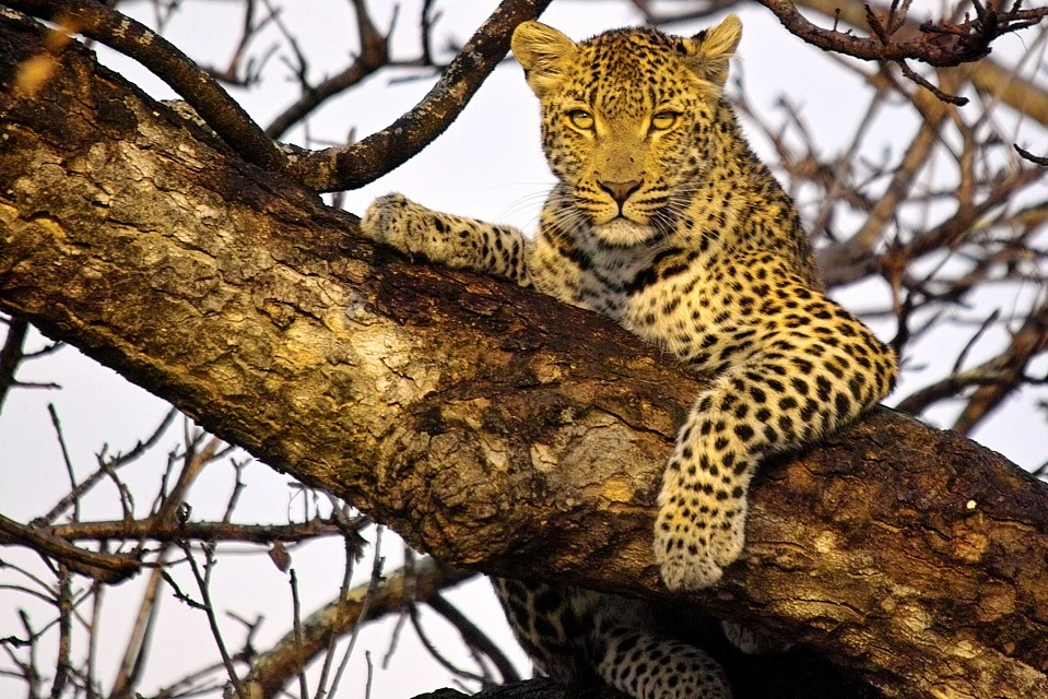 Leopard in tree - Kruger National