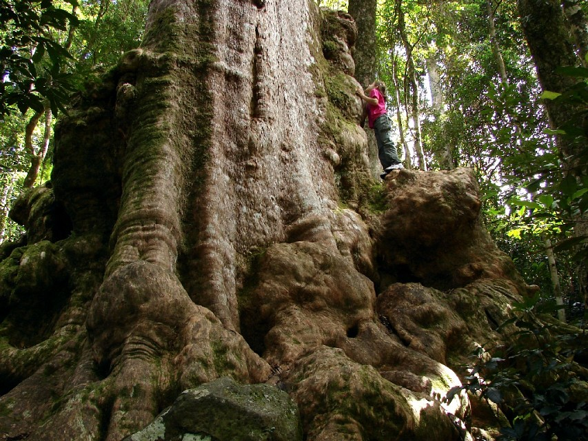 The Tree of Souls - Lamington National Park
