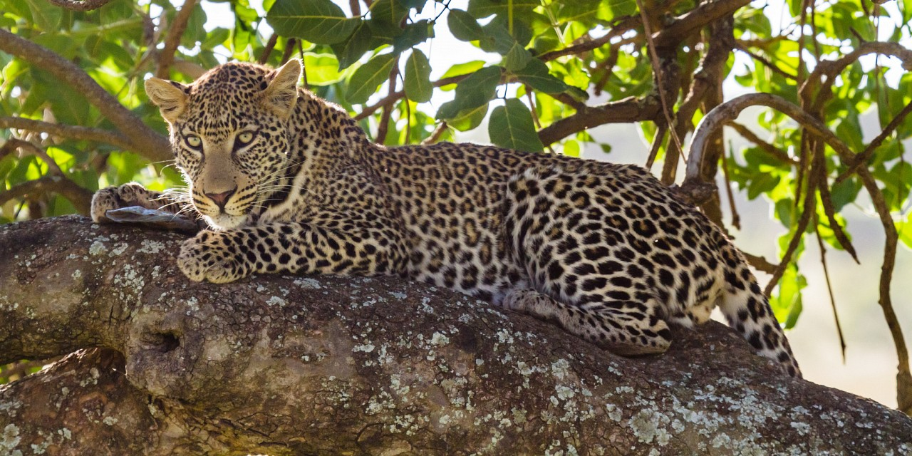 Leopard Resting on Branch -