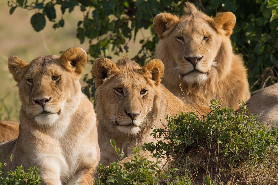 Lions Family Portrait - Maasai