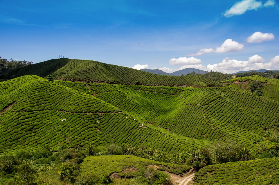 Malaysia: tea estate in the Cameron Highlands // Teeplantage in den Cameron Highlands - Malaysia