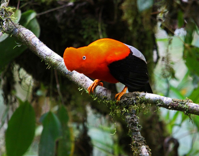 Andean Cock of the rock! - Manú National Park