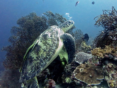 2014 11 Moalboal 37 turtle with 2 hitchikers - Moalboal