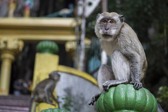 Monkey in Batu Caves - Batu Caves