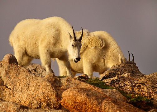 Mountain Goats on Mt.