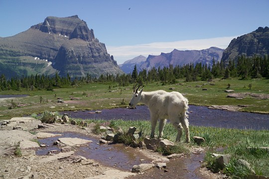 Mountain Goat - Glacier National