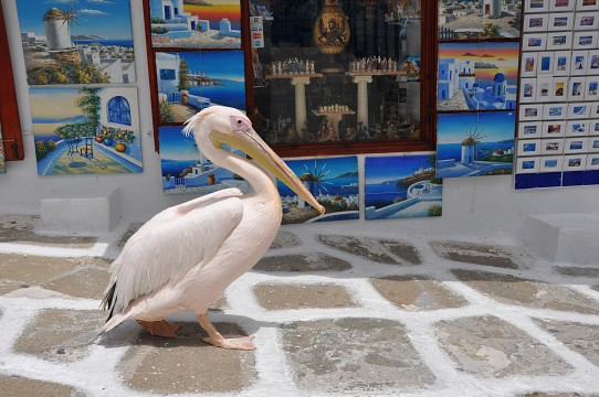 Pelican and