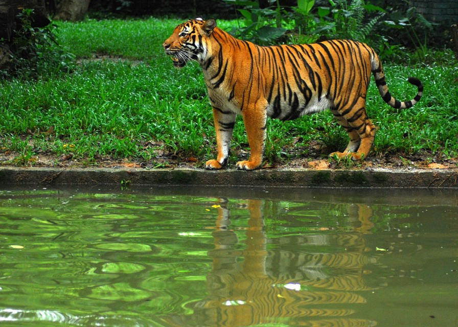 Tiger - National Zoo of Malaysia