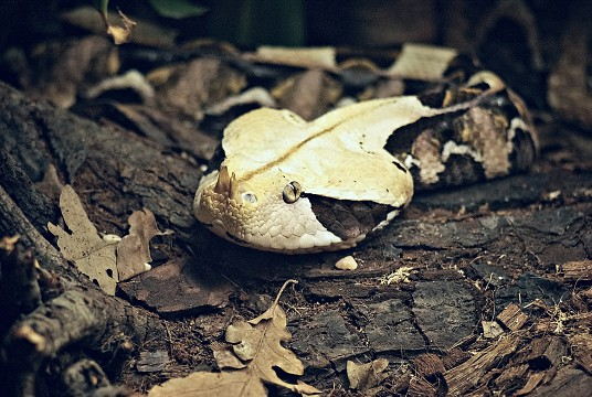 Gaboon