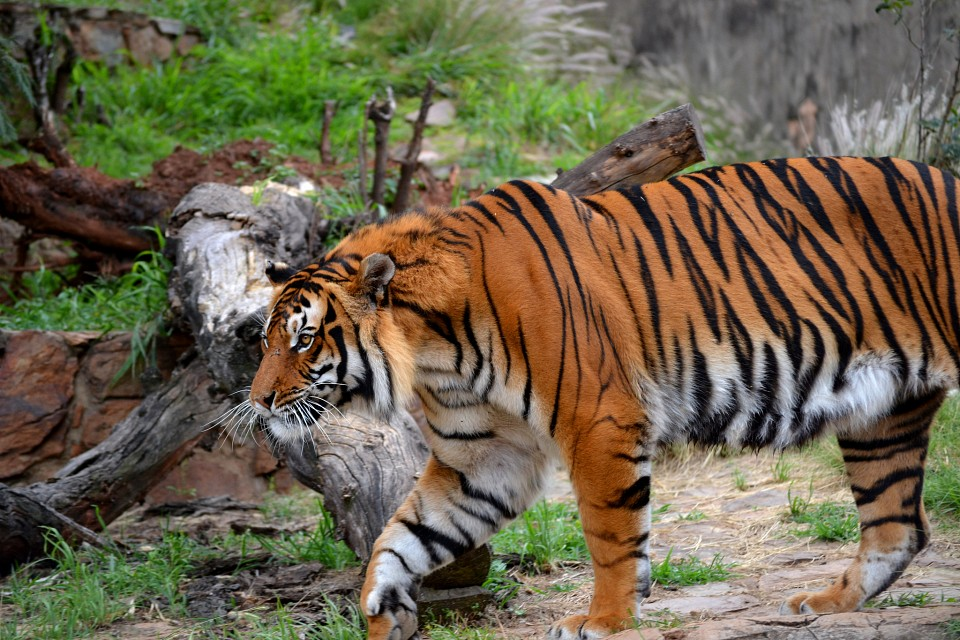 Tiger at National Zoological