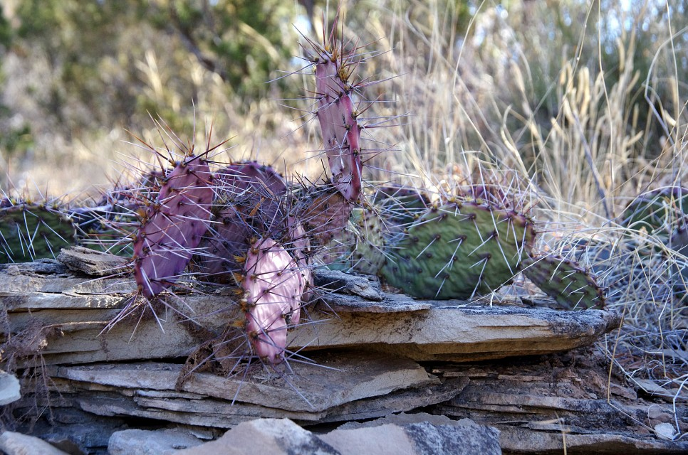 Prickly Pear Cactus - Palo Duro Canyon State Park