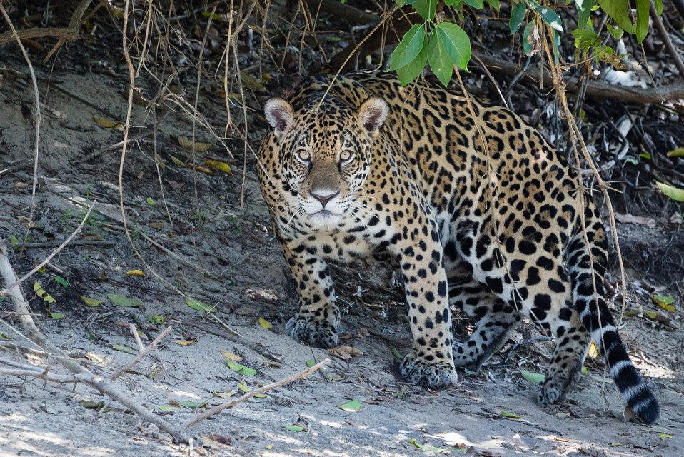 Jaguar in the Pantanal - Pantanal