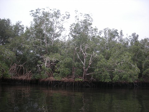 Mangroves at the Nyonie