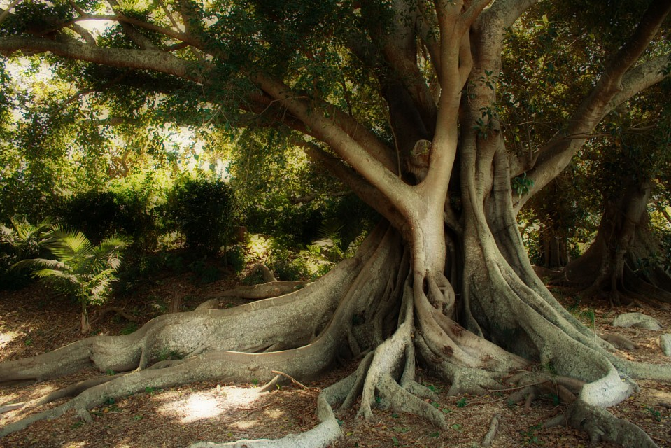 Moreton Bay Fig Tree - Queensland